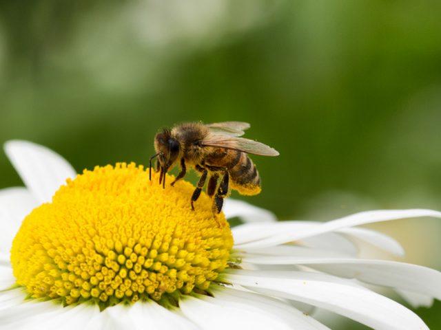 Biene auf Gänseblümchen
